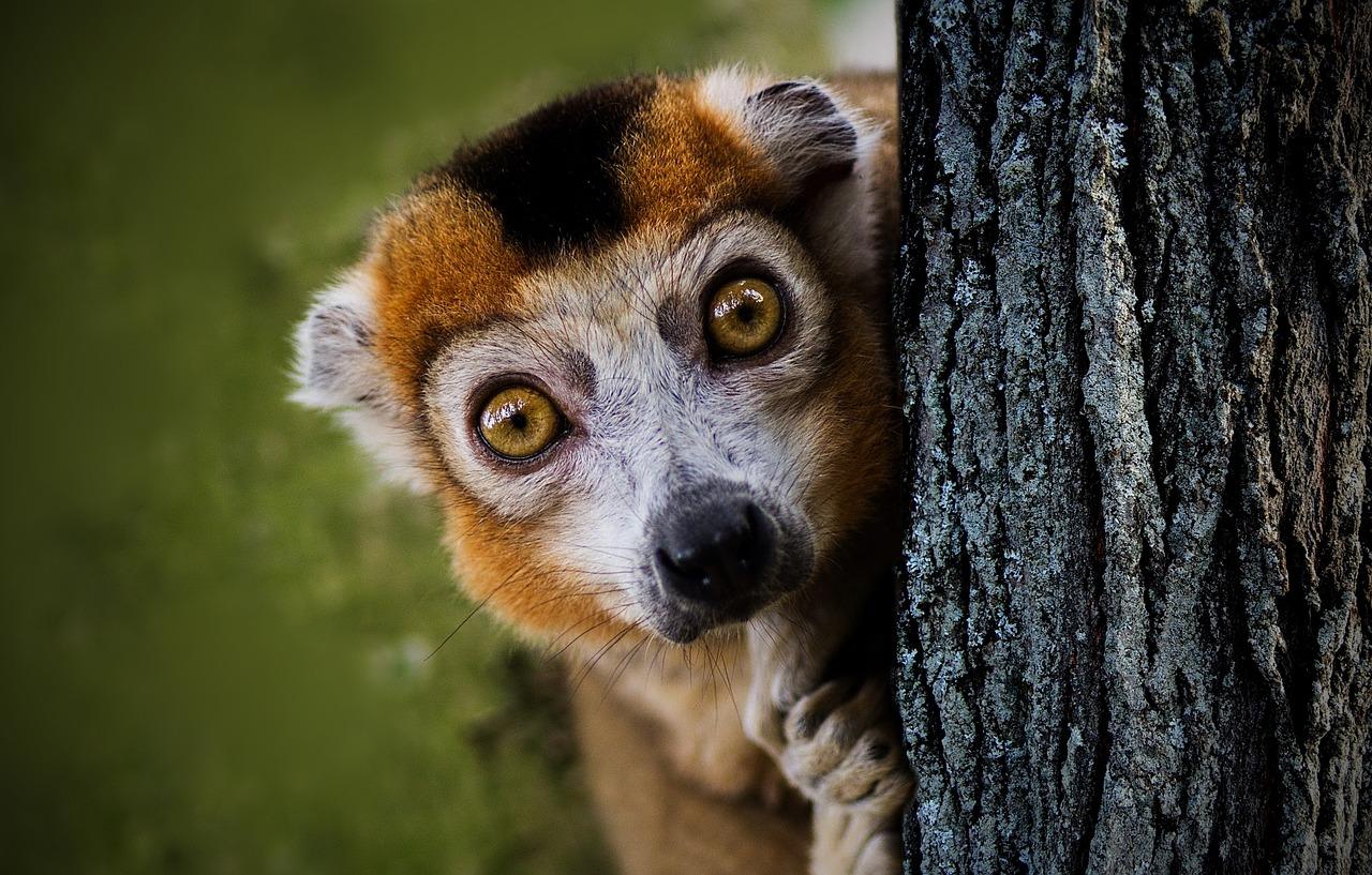 fanga-dina-lasare-nyfiken-lemur