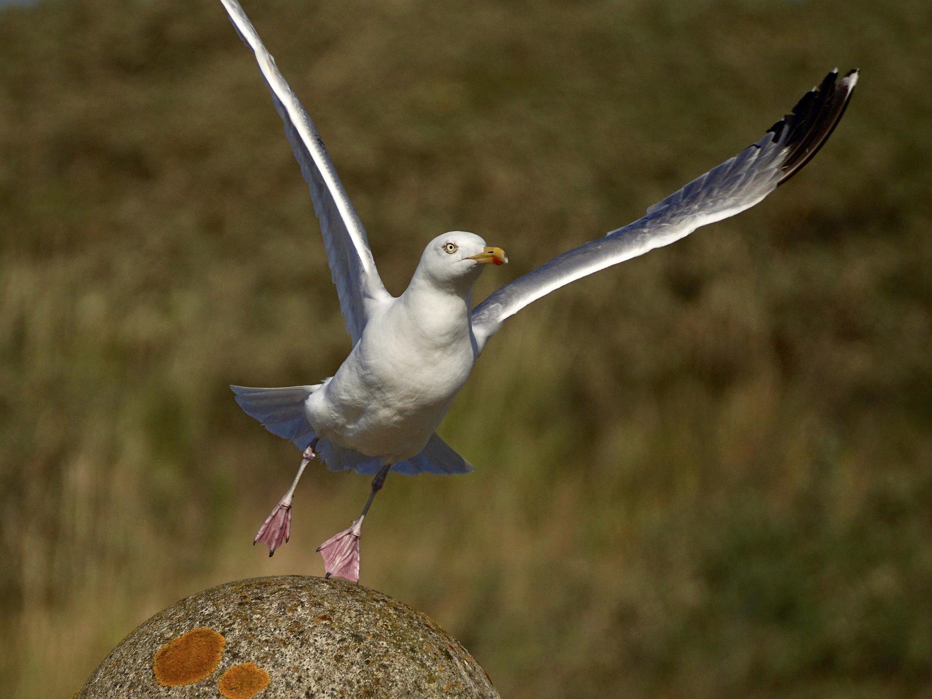 gull lifting